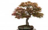 Old Japanese Maple Tree As Bonsai