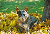 stock photo of heeler  - Australian Cattle Dog playing in fallen autumn leaves