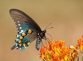 Ventral view of a Green Swallowtail butterfly feeding on butterflyweed