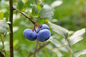 Bog bilberry (Vaccinium uliginosum) cluster.