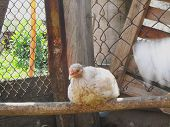 Chicken On The Farm. Partridge Huddle. Chicken Hatches An Egg On A Perch. Hens Are Sitting On The Fa poster