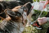 German Shepherd Dog Drinking Water From Bottle In Owner Hands On Summer Day. Close Up Watering A Dog poster