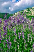 Blossoming Lavender (Lat. Lavandula Officinalis) Field Against Mountain And Blue Sky