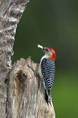 Male Red-Bellied Woodpecker Melanerpes carolinus)