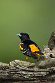 Northern Baltimore Oriole (Icterus galbula)