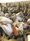 Threshed corncobs on the ground