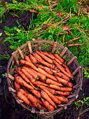 Fresh Organic Carrots & Leaf In Basket On Soil Ground. Juicy Carrot Plant In Field On Earth Backgrou poster