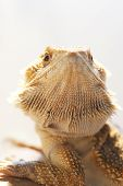Face on bearded dragon