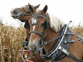 stock photo of hayride  - Draft horses in hay field - JPG