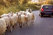 A Car Gives Way To A Herd Of Sheep,  Traveling By Car, Surprises On The Road poster