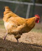 Walking Rooster