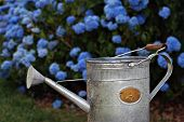 Charming old fashioned watering can with beautiful blue hydrangea bushes in soft focus as background