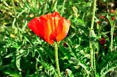 close view of poppy flower