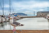 Seagull At Pier 39 In Foreground At Fishermans Wharf, San Francisco, California, United States. Gold poster