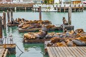 Sea Lions At Pier 39 In San Francisco, California, United States. Pier 39 Is At The Edge Of Fisherma poster