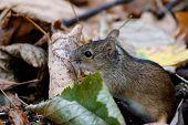 Striped Field Mouse Apodemus Agrarius Sitting On Ground. Cute Common Forest Rodent Animal In Wildlif poster