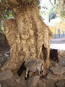 Old Tree in Nubian Village, Elephant Island, Egypt