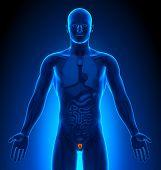 Medical Imaging - Male Organs - Prostate
