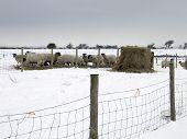 Ovejas de alimentación en la nieve
