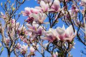 stock photo of saucer magnolia  - Blossoming saucer magnolia tree with flowers in pink and white. Magnolia 