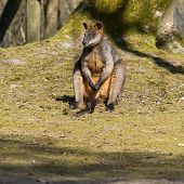 stock photo of tammar wallaby  - Swamp wallaby is relaxing in the sun - JPG