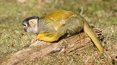 stock photo of peeing  - Peeing Squirrel Monkey  - JPG