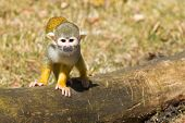 Squirrel Monkey (saimiri Boliviensis)