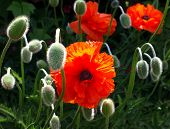 Meadow With Beautiful Bright Red Poppy Flowers In The Summer.