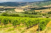 Vineyards Of Montalcino (tuscany)