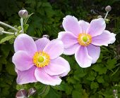 Two Japanese Anemone Flowers