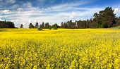 field of rapeseed plant for green energy