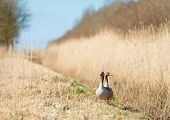Greylag geese walking in nature in spring