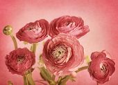 Ranunculus flowers on red background
