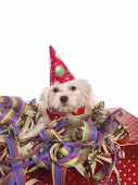 picture of hairy tongue  - maltese dog with party hat with white background - JPG