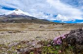 stock photo of plateau  - Cotopaxi volcano over the plateau covered with flowering crocuses - JPG