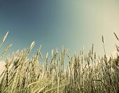 Field of wheat with a retro effect