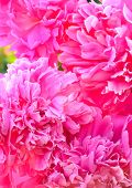 Pink Peonies Close Up