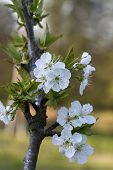 foto of bing  - These are white blossoms on a Bing cherry tree  - JPG