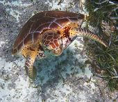 stock photo of hawksbill turtle  - Hawksbill Sea Turtle near Ambergris Caye in Belize - JPG