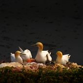 stock photo of gannet  - Resting gannet family at sundown Germany 2014 - JPG