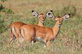 Two small impala antelope (Aepyceros melampus) lambs, Lake Nakuru National Park, Kenya