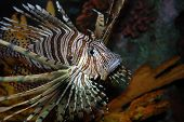 Lion Fish face