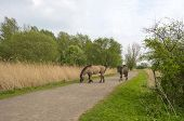 Konik horses walking over a path