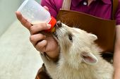stock photo of albinos  - zookeeper take care and feeding baby albino raccoon - JPG