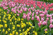 Tulips and Narcissus in the Keukenhof Gardens Lisse Netherlands