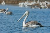 Pink-backed Pelican Floating Past The Squadron