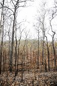 Trees In The Forest After Wildfire