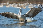Pink-backed Pelican Landing For A Strike On Fish