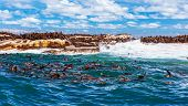 Wild South African seals, many cute sea lions having fun in the water, beautiful wild animals, exoti