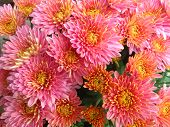 Chysanthemums in pink close up